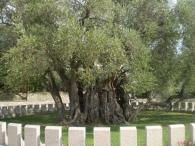 Старинная Олива в Баре