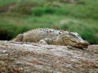 В Краснодарском крае появилась крокодиловая ферма
