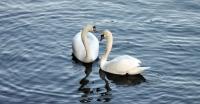 В Великобритании началась перепись лебедей