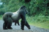 В Уганде туристы смогут изучить горилл