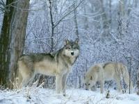 Национальный заповедник Йеллоустона предлагает волчье сафари