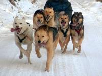 Туристов в Норвегии до отеля будут доставлять на собаках