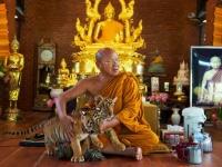 Тайцы спасают тигров