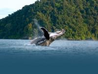 В Колумбии туристы смогут понаблюдать за горбатыми китами