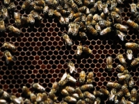 Пчелы поселились на крышах пражских домов