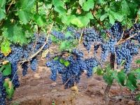 В провинции Кадис состоится праздник сбора винограда