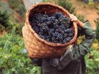 Праздник сбора урожая пройдет в Испании