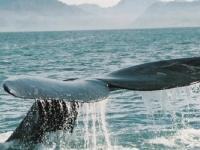 Фестиваль, посвященный китам состоится в ЮАР