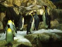 Месяц пингвинов пройдет в сингапурском парке