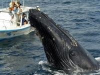 В Доминикане начался сезон наблюдения за китами