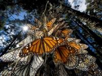 Понаблюдать за бабочками можно в Мексике